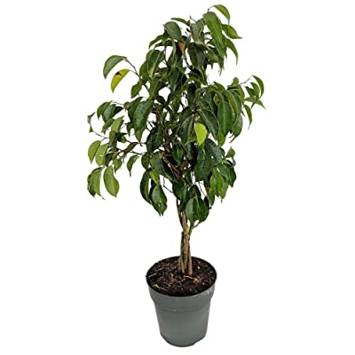 """Braided Wintergreen Weeping Fig Tree - Ficus benjamina - Easy to Grow - 6"""" Pot : Garden & Outdoor"""
