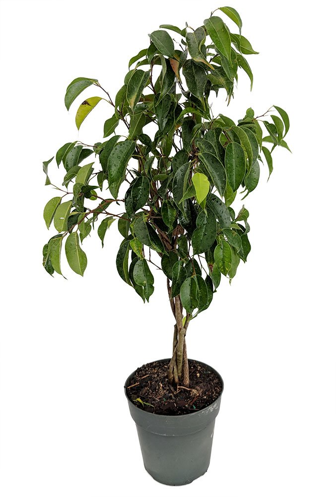 Braided Wintergreen Weeping Fig Tree - Ficus benjamina - Easy to Grow - 6'' Pot