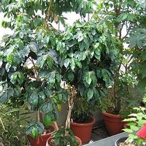Coffee Arabica Bush Seeds (Coffea Arabica Nana) 10+Seeds