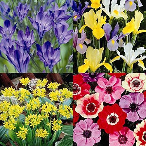 Spring Summer bulb garden flower product image