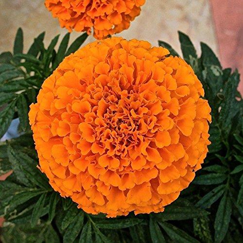 Flower seeds Marigold-Tagetes Dwarf