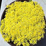 Gold Moss Sedum Golden Acre Sedum Stonecrop Gold Moss groundcover Flower Seeds Plant Pot for Home Garden 100pcs/bag