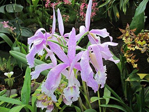 cattleya-maxima-pedro-orchid