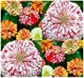 4 Packs x 150 CANDY STRIPE ZINNIA Seeds - Candy Cane Peppermint Stick Patterns - By MySeeds.Co