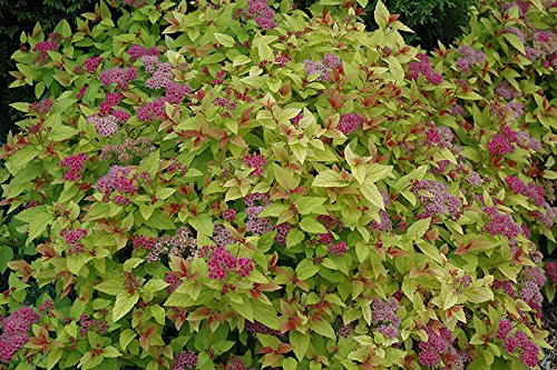 1 Barefoot of Magic Carpet Spirea