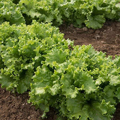 David's Garden Seeds Lettuce Starfighter SL1945 (Green) 200 Non-GMO, Open Pollinated Seeds