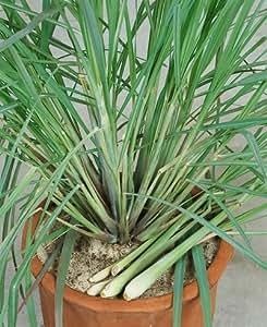 Lemon Grass Seeds - Cymbopogon Flexuosus - .04 Grams - Approx 100 Gardening Seeds - Herb Garden Seed