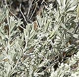 Artemisia tridentata UNIQUE SHRUB Seeds