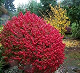"Dwarf Burning Bush - Compact Heavy Established Roots 4"" Potted - 3 plants by Growers Solution"