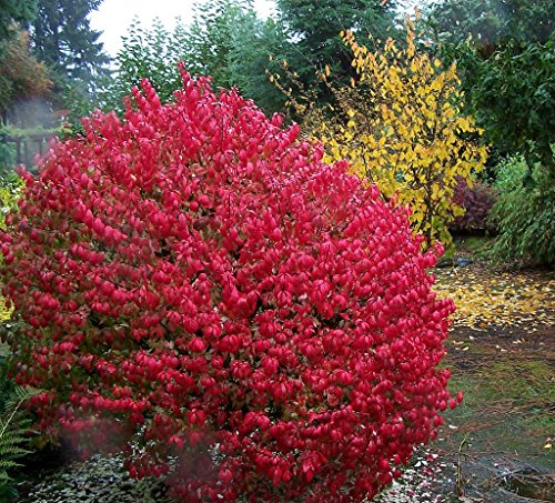 """Dwarf Burning Bush - Compact Heavy Established Roots 4"""" Potted - 3 plants by Growers Solution"""