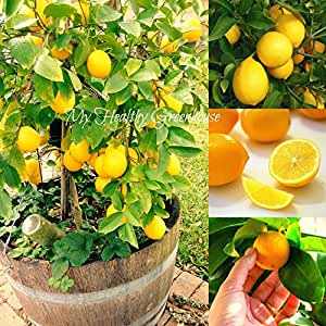 SEEDS – Wonderful Dwarf Meyer Lemon Citrus Seeds. Great for Indoor Outdoor Growing!e! SHIPS FROM CANADA!