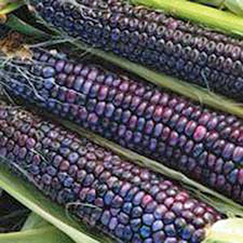 Corn, Blue Hopi, Corn Seeds, Organic, NON-GMO, 20 Seeds per package, making an excellent,Makes a excellent sweet blue corn flour. (Organic Blue Corn Seeds compare prices)