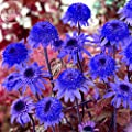 2018 Hot Sale!! Maslin Echinacea Dark Blue Perennial Flower Seeds, 30 Seeds, Professional Pack, Big Blooms Home Garden Coneflowers
