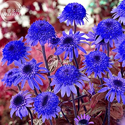 Amazon 2018 hot sale maslin echinacea dark blue perennial maslin echinacea dark blue perennial flower seeds 30 seeds mightylinksfo