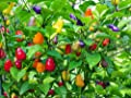 30+ Chinese 5 Five-Color Pepper Seeds Hot Heirloom NON-GMO RARE