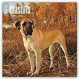 Mastiffs 2018 12 x 12 Inch Monthly Square Wall Calendar, Animals Dog Breeds