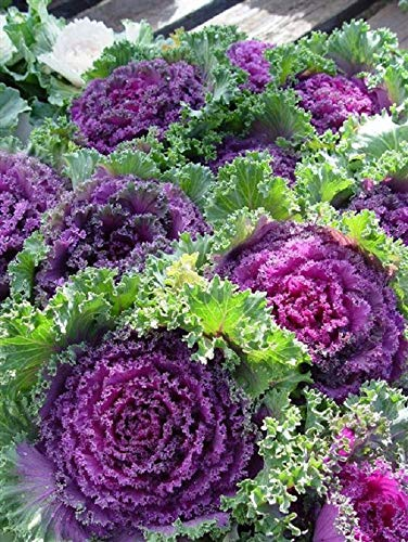 GL Seeds Ornamental Cabbage Organic