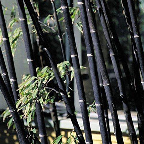 Wintefei 100Pcs Phyllostachys Pubescens Bamboo Seeds Home Garden Plants Ornamental Decor - Black Bamboo Seeds