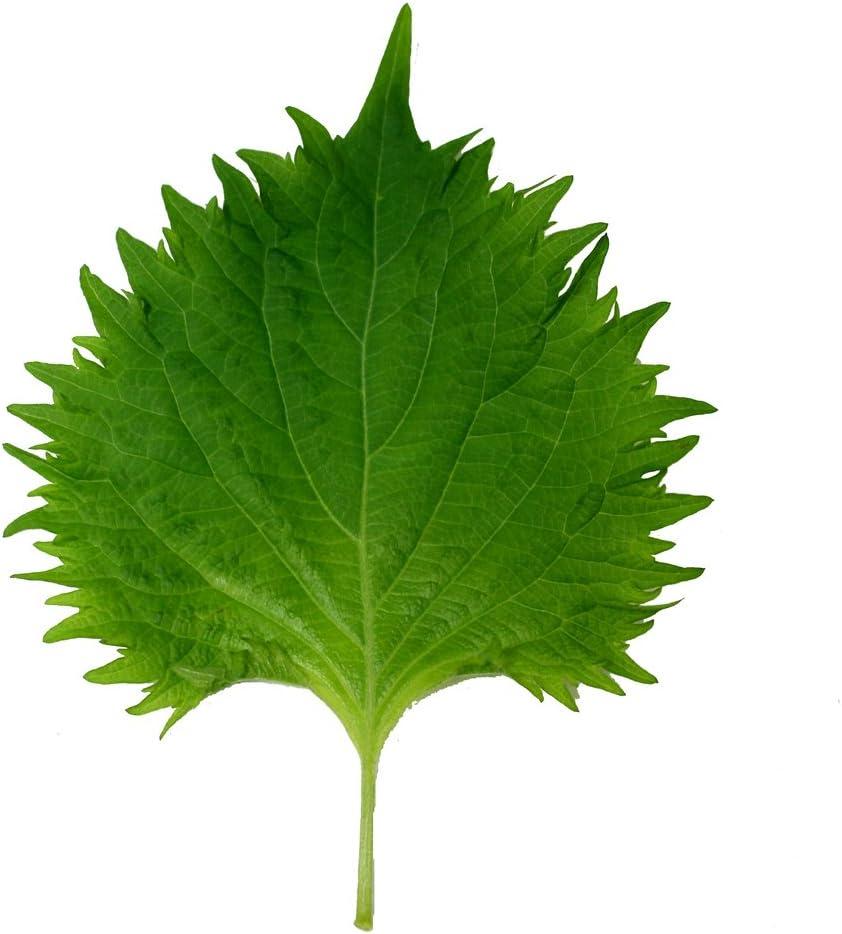 Grün 450 Samen Perilla Shiso Salat