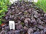 Ajuga reptans Black Scallop 72 plants perennial wholesale Bugleweed Zone 3-9