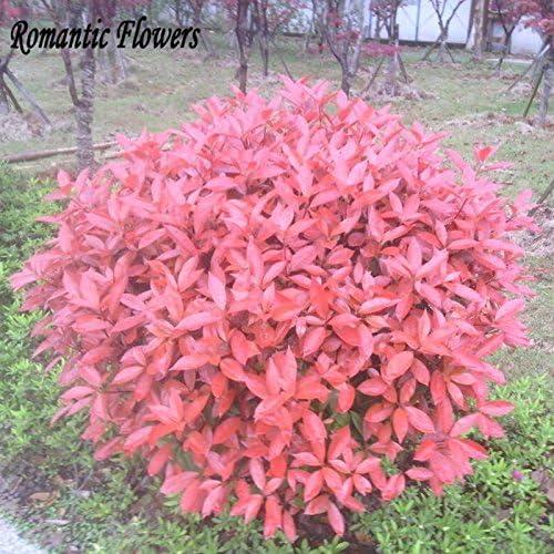 Nuevo hogar jardín de plantas 50 Semillas Photinia serrulata Fraseri Frasery Red Robin Semillas de flores Tipluohu: Amazon.es: Jardín
