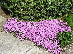 Starter Plants Moss - Phlox subulata Emerald Pink 72 - Zone 2-9