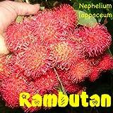 ~RED RAMBUTAN~ Nephelium lappaceum LIVE RARE FRUIT TREE LIVE Starter PLANT