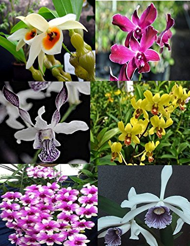 Sale - 3 Large Live Orchids Plants(Cattleya,Oncidium,Dendrobium) by Angels Orchids (Image #2)