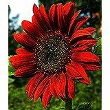 "Organic Decorative Sunflower seeds ""Red Sun"" (Helianthus annuus) 20 Seeds."