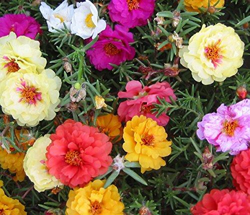 Portulaca (Purslane) Moss Roses Double-flowered Mixed Flower 1500 Seeds
