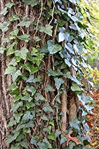 25 Starter Plants per Order of English Ivy in Bare Root