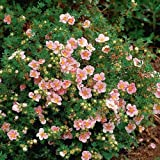 1 X POTENTILLA 'PINK BEAUTY' DECIDUOUS SHRUB HARDY GARDEN PLANT IN POT