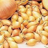 Yellow Ebenezer Onion Sets