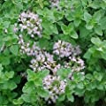 Oregano 400 Seeds Important Herbs of Italian, Greek, Mexican Cooking