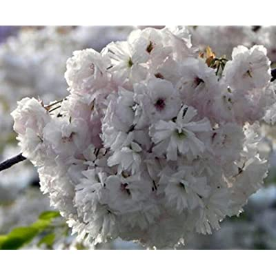 AchmadAnam - Live Plant - 10 - Flowering Cherry Yoshino White Fragrant Tree 3-4 ft : Garden & Outdoor