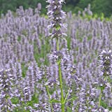 Everwilde Farms - 2000 Anise Hyssop Native Wildflower Seeds - Gold Vault Jumbo Seed Packet