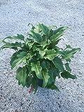 PlantVine Philodendron 'Xanadu' - 14 Inch Pot (7 Gallon), Live Indoor Plant