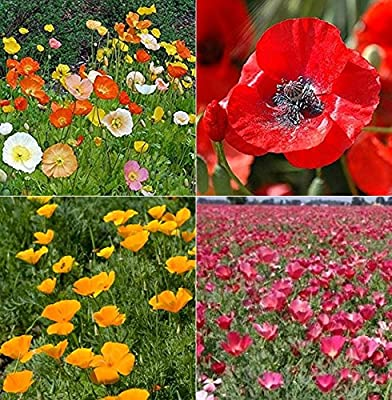 David's Garden Seeds Collection Set Flower Poppy W7743 (Multi) 4 Varieties 2500 Seeds (Open Pollinated, Heirloom, Organic)