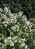 Spring Sonata Indian Hawthorne