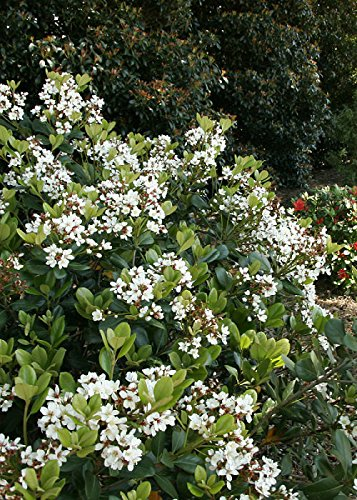 Amazon 2 gallon spring sonata indian hawthorneraphiolepis 2 gallon spring sonata indian hawthorneraphiolepis white flower clusters in spring mightylinksfo