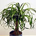 Ponytail Palm Tree 8 Seeds! Beaucarnea recurvata Houseplant Rosettes of long green leaves White Blooms Doesn't need a lot of water or care