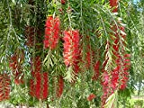 BOTTLEBRUSH - WEEPING - 1 PLANT - QUART POT JCP