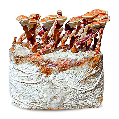 Grow Your Own Mushrooms Kit - Colonized Reishi Mushrooms - up to 4 lbs