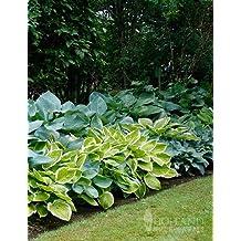 Mixed Hosta Value Bag - 6 Bareroot Plants