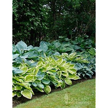 Amazoncom Hosta Mixed 6 Perennial Bare Roots Garden Outdoor
