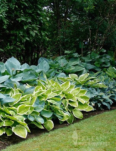 Mixed Hosta Value Bag - 6 Bareroot Plants