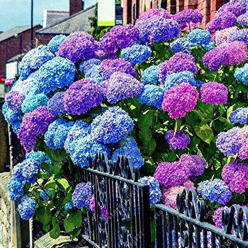 (24 pcs/Pack Hydrangea Seed Bonsai Flower Seeds Hydrangea Perennial Garden Home)