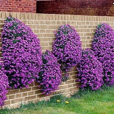 Rockcress Cascading Purple Flower Seeds (Aubrieta Hybrida) : Garden & Outdoor