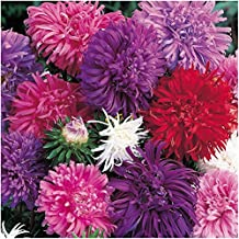 Package of 1,000 Seeds, Ostrich Feather China Aster (Callistephus chinensis) Open Pollinated Seeds By Seed Needs