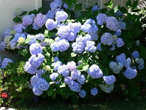 3-gallon-nikko-blue-hydrangea-awesome-blue-mophead-blooms-lots-of-big-flowers-color-ranging-from-pin